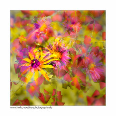Letzte Farben / last colors (H. Roebke (offline for a while)) Tags: autumn de canon5dmkiv color herbst quadrat flower germany blume blätter fall leaves 2017 flora multiexposure canon1635mmf28lisiii mehrfachbelichtung lightroom farbe