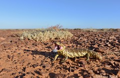 Shingleback (Tiliqua rugosa) (shaneblackfnq) Tags: shingleback tiliqua rugosa shaneblack lizard skink reptile stumpy bobtail sa south australia pimba outback