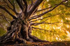 Defiant of Time (martijnvdnat) Tags: beautyinnature leaf leiden nopeople orangecolor parkmanmadespace woodland autumn bark beech branch branches environment fall forest landscape leaves nature old outdoors plant roots scenics season sunlight tree treetrunk trunk yellow