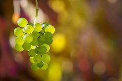 This vine will have smooth bouquet (Karsten Gieselmann) Tags: 40150mmf28 bokeh dof em5markii gelb grün herbst jahreszeiten lebensmittel mzuiko microfourthirds nahrungsmittel olympus rot schärfentiefe trauben autumn fall food grapes green kgiesel m43 mft red seasons yellow burglengenfeld bayern deutschland