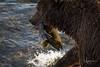 Sushi! (wyrickodiak_9) Tags: kodiak alaska brown bear grizzly sow cubs fishing river island mammal wildlife apex predator