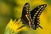 Not so Long Ago (NaturalLight) Tags: male black swallowtail butterfly maximilian sunflower chisholmcreekpark wichita kansas