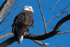 Bald Eagle (Jesse_in_CT) Tags: baldeagle nikon200500mm