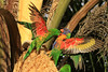 This is my Turf. (Flair Photography Brisbane) Tags: infocus highquality rainbowlorikeet greenie palmblossoms fight agression