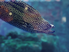 Murena huge snake sweaming away at the blue ocean (mironenko1990) Tags: moray murena eel reef red sea underwater ocean coral fish gymnothorax nature diving water tropical animal marine scuba honeycomb favagineus indian giant mouth dive aquatic spotted beauty zanzibar travel barrier dangerous blue great leopard colorful yellow tulamben huge large hunting