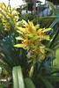 Cymbidium x gammieanum  primary natural hybrid orchid 10-17 (nolehace) Tags: cymbidium gammieanum primary natural hybrid orchid 1017 xgammieanum sanfrancisco fz1000 nolehace