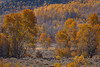 Surrounded (Jeffrey Sullivan) Tags: fall colors mono county eastern sierra bridgeport california usa travel photography milky way canon eos 6d photo copyright 2017 jeff sullivan yellow aspen trees forest