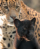 jaguar Rica and cub artis BB2A1758 (j.a.kok) Tags: jaguar jaguarcub jaguarwelp zwartejaguar zwartejaguarwelp blackjaguar blackjaguarcub artis animal cat kat mammal zuidamerika southamerica zoogdier dier predator