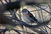 Brambling (image 3 of 3) (Full Moon Images) Tags: rspb sandy lodge thelodge wildlife nature reserve bedfordshire bird brambling female