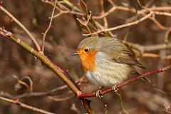 Rouge-gorge familier -Erithacus rubecola_0717 (nicéphor) Tags: nature robin rougegorge faune tamron150600mm eos7d canon wildlife oiseaux birds vögel passériformes passereaux
