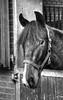 Draver (Frank Berbers) Tags: drafsport draver traber trotteur paardensport pferdesport equestriansports sportséquestres hdr monochrome photomatix paard pferd horse cheval harnessracingwithsulky helmond noordbrabant nederland nikond5100 2017