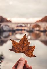 Otoño en Roma (Japo García) Tags: roma otoño puente tevere hoja marrón cálido profundidad de campo mano perspectiva paisaje vertical fotografía japo garcía ponte sisto gris