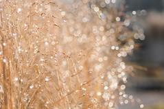 HBW #49 (Frau Koriander) Tags: hbw happybokehwednesday bokehwednesday bokeh dof gras pampasgras tautropfen regentropfen light licht sonnenlicht nikond300s 60mm nikkoraf60mmƒ28 water waterdrops wasser dew dewdrops raindrops regen nature natur parkrosenhöhe rosenhöhe darmstadt darmstadtost availablelight extremebokeh blur blurry schärfeverlauf unschärfe