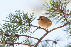 Light colours (uusija) Tags: regulusregulus bird goldcrest hippiäinen linnut luonto nature