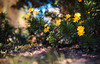 ILCE-7M2-04621-20171206-1444-Pano // Vivitar Series 1 VMC 70-210mm 1:3.5 (Otattemita) Tags: 70210mmf35 bokehpanorama bokehrama brenizermethod florafauna macrofocusingautozoom vs1 vivitar vivitarkiron vivitarseries1 vivitarseries1vmcmacro70210mmf35kiron fauna flora flower nature plant wildlife vivitarseries1vmc70210mm135 sony sonyilce7m2 ilce7m2 cnaturalbnatural ota