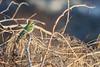 DSC_6612 (Kjell Arild Dokka) Tags: bietere beryllbieter merops orientalis iran bandarabbas kostargah