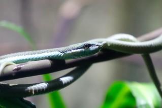 Rhinoceros Ratsnake (Vietnamese Longnose Snake)