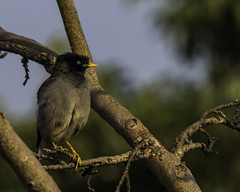 Crested Myna (apdeshpande) Tags: bird crestedmyna myna birdwatching instabird birdphotography birding instabirds cutebird wildlife pune punebirds yourbestbirds bestbirdshots wildlifephotography nutsaboutbirds birdlover birdlovers featherperfection birdfreaks urban thankyounature india avian birdsofinstagram urbanphotography morning sunshine mycanonshot