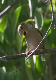 8.10.17 2  Hawfinch