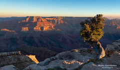 Standing firm (Marc Haegeman Photography) Tags: grandcanyon arizona arizonaphotographybymarchaegeman juniper canyon geology nikond800 landscape outdoor scenic mountain sunrise grandcanyonnationalpark coloradoriver landscapes nature tree