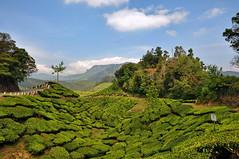India - Kerala - Munnar - Tea Plantagen - 221 (asienman) Tags: india kerala munnar teaplantagen asienmanphotography