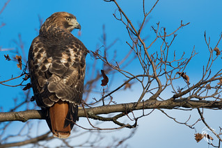 Red-tailed Hawk on the Hudson | 2017 - 9