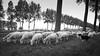 Flock (paul indigo) Tags: belgium damme paulindigo places blackandwhite canal flock herd landscape rain sheep trees walking