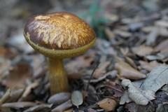 (Bárbara L.F.) Tags: mushroom setas bolets bolet seta
