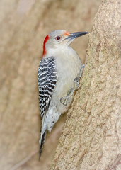 Female Red-bellied Woodpecker (tresed47) Tags: 2017 201711nov 20171119chestercountybirds birds canon7d chestercounty content fall folder home november pennsylvania peterscamera petersphotos places redbelliedwoodpecker season takenby us woodpecker ngc