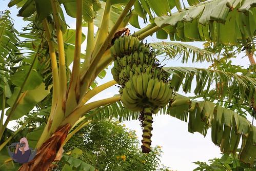 Bananas growing at Rays Hotel
