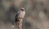 dusky woodswallow (Artamus cyanopterus)-5275 (rawshorty) Tags: rawshorty birds canberra australia act campbell