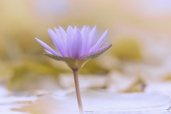 One Promise (Anna Kwa) Tags: waterlily flower art nature bokeh annakwa nikon d750 afsnikkor70200mmf28gedvrii my promise always survive bewell persevere thrive omm beyou seeing heart soul throughmylens fate journey life destiny roots thepromise memories remembrance dreams