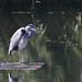 Resting (M_squared Images) Tags: greyheron ardeacinerea msm1935 somerset somersetlevels waltonheath rspbhamwall