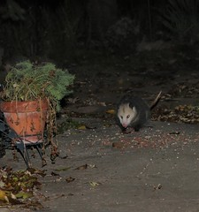 Scruffy the Opossum Is Back (OrlandParkBirdieGirl) Tags: mammal marsupial opossum virginiaopossum didelphis virginiana endemictoamericas didelphimorphs awnhairs long snouts narrow brain case flat feet noctural solitary omnivorous