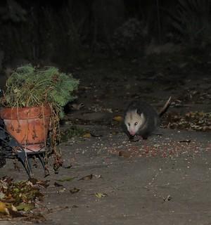 Scruffy the Opossum Is Back