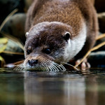 Eurasian Otter thumbnail