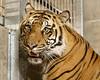 Majel in Her Bedroom (Penny Hyde) Tags: bigcat safaripark sumatrantiger
