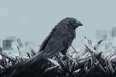 Black bird (kerto.co.uk) Tags: bird black graphic design photo art artwork proudphotoshopper photoshop designer kerto cold tones cool blues nature groove billed ant eater