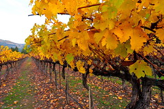 After Harvest (miltonsun) Tags: napavalley vineyard autumnleaves autumn harvest northerncalifornia westcoast sonomacounty