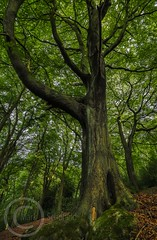 Honley Wood Scotgate Aug 2017 028 (Mark Schofield @ JB Schofield) Tags: trees wood woodland ancient tall old bark trunk branch huddersfield honley woods meltham yorkshire oak leafy leaves