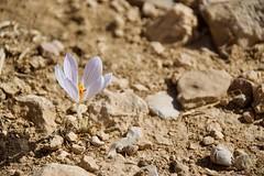 (Giramund) Tags: jordan middleeast flower desert