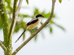 20171125-EM129712 (shutterblades) Tags: birds longtailedshrike olympusem1mkii olympusmzuiko300mmf4pro14tc seletaraerospacehub seletarwestlink