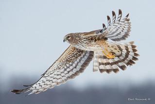 Harrier female