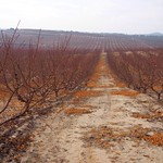 Fruit trees field at the end of autumn thumbnail