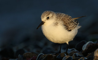 Sanderling (Calidris alba) searching around the shoreline for food in the last of the days sunlight.