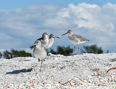 Willets (Kremlken) Tags: shorebirds beach birds birding willet nikon500 group