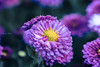 🌼 (martinap.1) Tags: nikon nature nikond3300 natur nikon105mmmacro flower blume blüte blossom colourful bokeh b hss sliderssunday