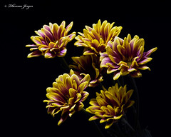 Cluster of Yellow-Purple Mums 1024 Copyrighted (Tjerger) Tags: nature color beautiful beauty black blackbackground bloom blooming blooms bunch closeup cluster colorful fall flora floral flower flowers green group macro mum plant portrait purple white wisconsin yellow mums natural