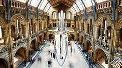 Fat bones (dr_cooke) Tags: ballena whale skeleton esqueleto museum london londres