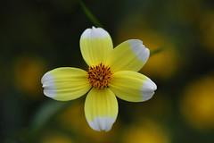 Bidens Aurea 'Hannay's Lemon Drop'  ( Arizona Beggarticks  ) (natureloving) Tags: bidensaureahannayslemondrop arizonabeggarticks macro flower fleur nature dof flowersinfrance fleursenfrance flowersineurope natureloving nikon d90 afsvrmicronikkor105mmf28gifed